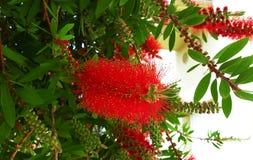 Czerwony kwiat butelki muśnięcie Callistemon obrazy royalty free