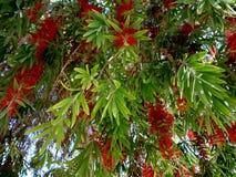 Czerwony kwiat callistemon bottlebrush zakończenie up Fotografia Royalty Free