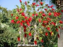 Czerwony kwiat callistemon bottlebrush zakończenie up Zdjęcie Stock