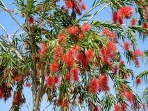 Czerwony kwiat callistemon zamyka up (bottlebrush) Obrazy Stock