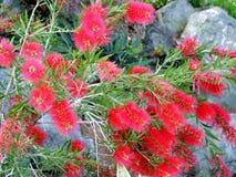 Czerwony kwiat callistemon zamyka up (bottlebrush) Zdjęcie Stock