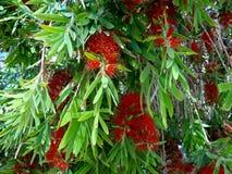 Czerwony kwiat callistemon zamyka up (bottlebrush) Zdjęcia Royalty Free
