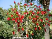 Czerwony kwiat callistemon zamyka up (bottlebrush) Zdjęcie Royalty Free