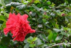 Czerwony kwiat, Chiny róża, Obuwiany kwiat, Chiński poślubnika poślubnika syriacus L fotografia stock