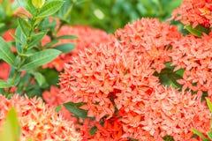 Czerwony kwiat, czerwony Ixora coccinea Obrazy Royalty Free