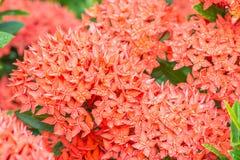 Czerwony kwiat, czerwony Ixora coccinea Obraz Royalty Free