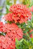 Czerwony kwiat, czerwony Ixora coccinea Zdjęcie Stock