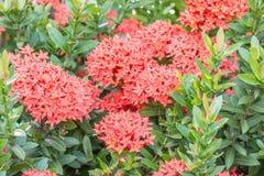 Czerwony kwiat, czerwony Ixora coccinea Zdjęcia Stock