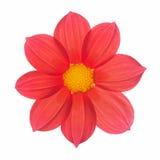 Czerwony kwiat dalii rocznik Zdjęcie Stock