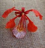 Czerwony kwiat ekstrawagancki drzewo Zdjęcia Royalty Free