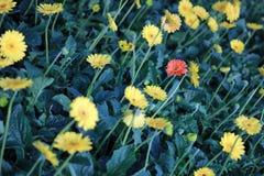 Czerwony kwiat i Żółty kwiat Zdjęcia Stock