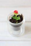 Czerwony kwiat kalanchoe - mała domowa roślina Zdjęcie Royalty Free