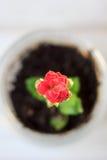 Czerwony kwiat kalanchoe - mała domowa roślina Zdjęcia Royalty Free