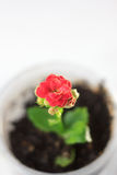 Czerwony kwiat kalanchoe - mała domowa roślina Obraz Royalty Free