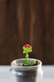Czerwony kwiat kalanchoe - mała domowa roślina Obrazy Royalty Free