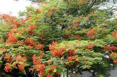 Czerwony kwiat Królewski poinciana lub ekstrawagancki drzewo Zdjęcia Royalty Free