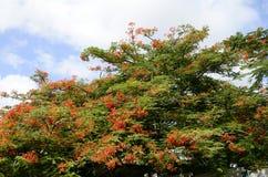 Czerwony kwiat Królewski poinciana lub ekstrawagancki drzewo Fotografia Stock