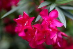Czerwony kwiat, lata kwiecenie, jaskrawy piękny kwiat, menchia kwitnie Zdjęcia Royalty Free