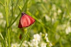 Czerwony kwiat len w polu po deszczu Zdjęcia Stock