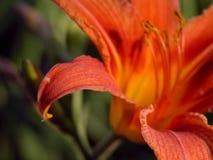 czerwony kwiat lilii fotografia stock