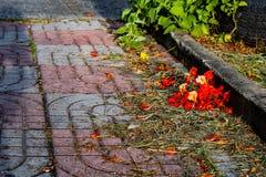 Czerwony kwiat lub Caesalpinia pulcherrima L Sw na korytarza bri Fotografia Stock