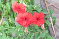 Czerwony kwiat lub Chaba w Tajlandia Zdjęcia Royalty Free