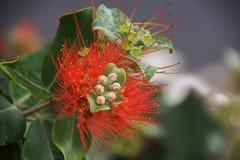 Czerwony kwiat Madeira wyspa Fotografia Stock