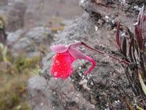 Czerwony kwiat mokry po deszczu przechodził zdjęcia stock