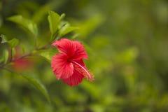 Czerwony kwiat na zamazanym zielonym tle Obraz Royalty Free