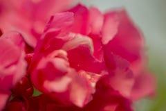 Czerwony kwiat na zamazanym zielonym tle Obrazy Royalty Free
