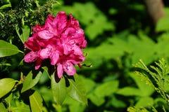 Czerwony kwiat na zielonym tle różanecznik Obraz Royalty Free
