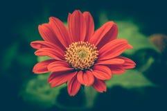 czerwony kwiat piękny czerwony gerbera i fluff Zdjęcia Royalty Free