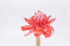 Czerwony kwiat pochodnia imbir, etlingera elatior rodziny zingiberace fotografia royalty free