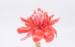 Czerwony kwiat pochodnia imbir, etlingera elatior rodziny zingiberace obrazy stock