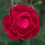 Czerwony kwiat przeciw zielonym liściom Fotografia Royalty Free