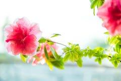 Czerwony kwiat przy okno obrazy stock