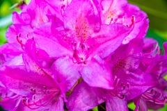 Czerwony kwiat różanecznik Zdjęcie Stock