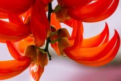 czerwony kwiat tropikalna zdjęcie stock