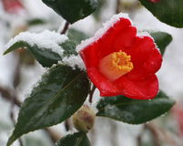 Czerwony kwiat w śnieżnym (kameliowy japonica) zdjęcie royalty free
