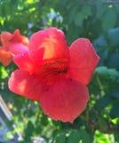 Czerwony kwiat w świetle słonecznym w lecie Zdjęcie Stock