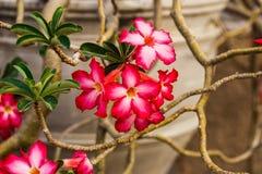 Czerwony kwiat w ceramicznym wazowym Thailand w świątynnym Chiang Mai Zdjęcie Royalty Free