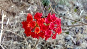 Czerwony kwiat w jałowej ziemi Zdjęcia Royalty Free
