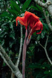 Czerwony kwiat w mokrej dżungli podczas pory deszczowa obrazy stock