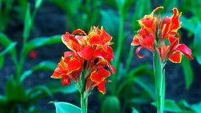 czerwony kwiat w ogrodowym //beautiful kwiacie obraz royalty free