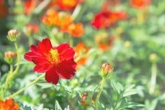 Czerwony kwiat w parku, kolorowy kwiat fotografia royalty free