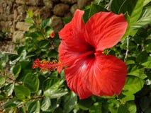 Czerwony kwiat w pięknym ogródzie zdjęcia stock