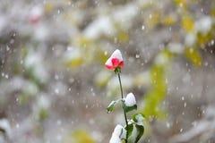 Czerwony kwiat w snowing Fotografia Royalty Free
