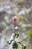 Czerwony kwiat w snowing Obrazy Royalty Free