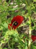 Czerwony kwiat w trawie zdjęcia royalty free