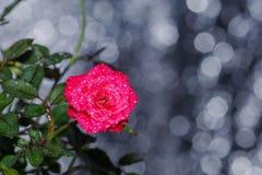 Czerwony kwiat, walentynka dzień, czerwone róże, bukiet kwiaty, abstrakta Bokeh tła Lekkich Miękkich złotych świateł Abstrakcjoni obrazy stock